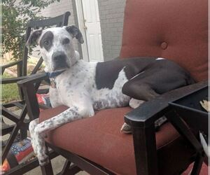 German Shorthaired Pointer Mix Dog for Adoption in LAKEWOOD VILLAGE, Texas USA