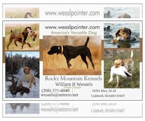 Lab-Pointer Puppy for sale in CALDWELL, ID, USA