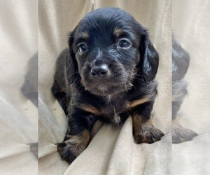 Dachshund Puppy for Sale in LITCHFIELD, Maine USA