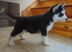 Siberian Husky Puppy For Sale in DEARBORN, Missouri,