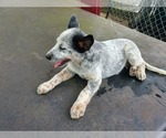 Puppy 1 Australian Cattle Dog