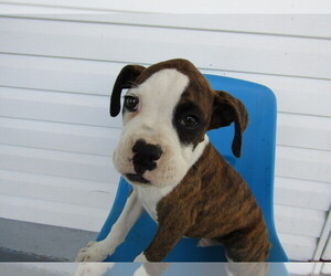 Boxer Puppy for sale in HUDSON, MI, USA