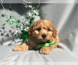 Cock-A-Poo-Cockapoo Mix Puppy for Sale in LAKELAND, Florida USA
