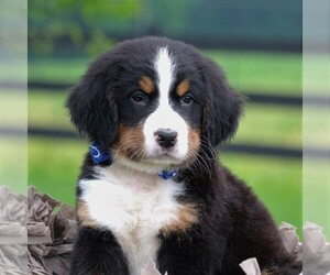 Bernese Mountain Dog Puppies For Sale Near Fairfax Virginia