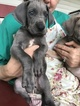Great Dane Puppy For Sale in MBORO, TN, USA