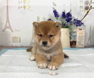 Shiba Inu Dog for Adoption in SAN DIEGO, California USA