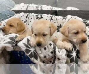 Labrador Retriever Puppy for sale in DERWOOD, MD, USA