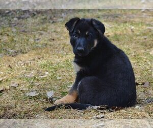 German Shepherd Dog Puppy for sale in S ROYALTON, VT, USA