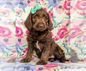 Labradoodle Puppy for sale in KINZERS, PA, USA