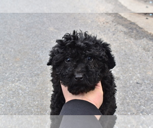 Poodle (Miniature)-Sheltidoodle Mix Puppy for sale in RIVERDALE, MD, USA