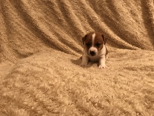 Jack Russell Terrier Puppy For Sale in INTERLAKEN, NY, USA
