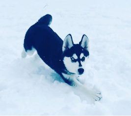 Siberian Husky Dog For Adoption in TRUMBULL, CT, USA