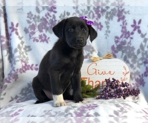 Great Pyrenees-Labrador Retriever Mix Puppy for sale in LAKELAND, FL, USA