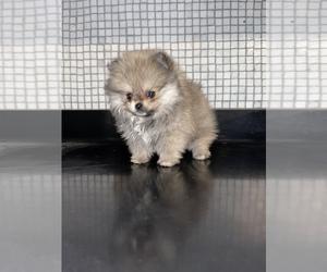 Pomeranian Puppy for sale in HAYWARD, CA, USA