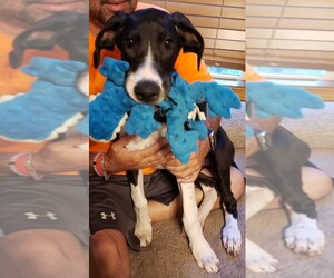 Great Dane Puppy for sale in LIBERTY, MO, USA