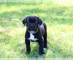 Cane Corso Puppy For Sale in ABERDEEN, MS, USA