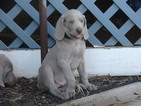 Weimaraner Puppy For Sale in AMORITA, OK, USA