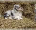 Small #2 Shetland Sheepdog