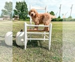 Goldendoodle Puppy For Sale in BOONVILLE, NC, USA