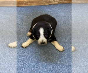 Australian Shepherd Puppy for sale in BEULAVILLE, NC, USA