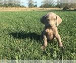 Puppy 4 Weimaraner