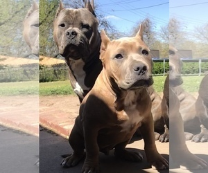 American Bully Puppy for sale in ENID, OK, USA