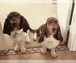 Small Photo #1 Basset Hound Puppy For Sale in INDIO, CA, USA