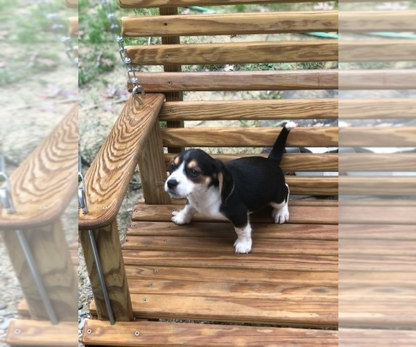 Medium Photo #1 Beagle Puppy For Sale in SPENCER, TN, USA