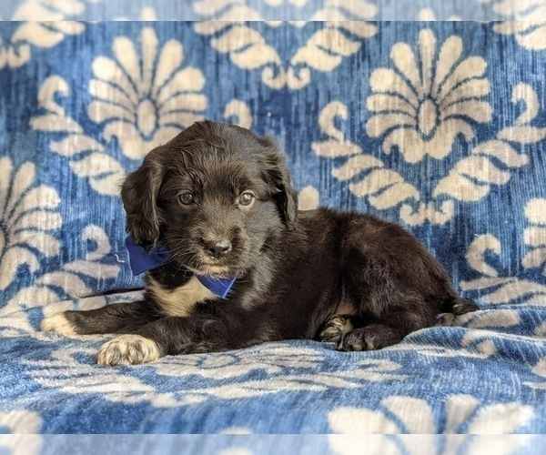 Medium Photo #4 Cocker Spaniel-Unknown Mix Puppy For Sale in CHRISTIANA, PA, USA