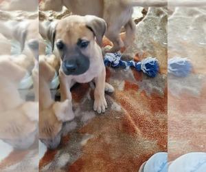 Great Dane Puppy for sale in KILLEN, AL, USA