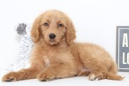 Taliah Female Goldendoodle Puppy