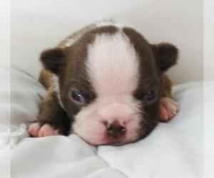 Boston Terrier Puppy for Sale in MULINO, Oregon USA