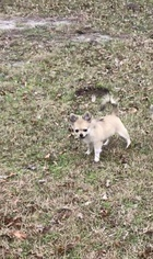 Chihuahua both parents AKC Champion blood lines