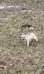Small #19 Chihuahua