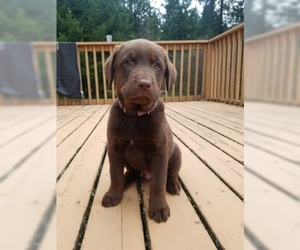 Labrador Retriever Puppy for sale in LA CENTER, WA, USA