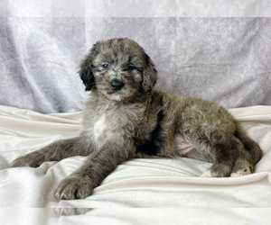 Bernedoodle Puppy for Sale in ARLINGTON, Texas USA