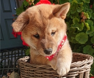 Shiba Inu Puppy for sale in DALY CITY, CA, USA