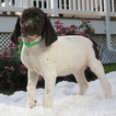 German Shorthaired Pointer Puppy For Sale in GAP, PA,