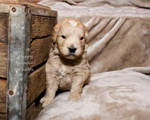 Goldendoodle (Miniature) Puppy For Sale in LENOIR, NC, USA
