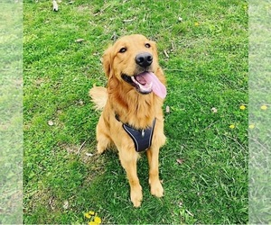 Father of the Golden Retriever puppies born on 12/31/2020