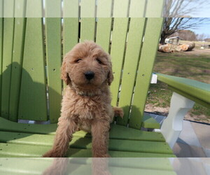 Labradoodle Puppy for sale in MUSKEGON, MI, USA