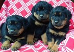 Rottweiler puppies 5 boy and 3 girls conowingo md