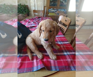 Golden Retriever Puppy for sale in FAIRVIEW, MI, USA