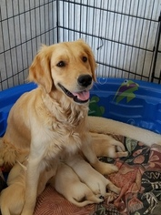 Golden Retriever Puppy For Sale in CODY, WY, USA