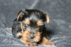 Yorkshire Terrier Puppy For Sale in OLLA, Louisiana,