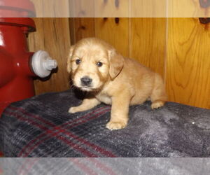 Golden Retriever Puppy for Sale in FROSTPROOF, Florida USA