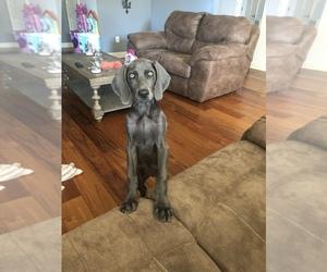 Weimaraner Puppy for sale in KIMBERLIN HEIGHTS, TN, USA