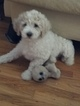 Poodle (Standard) Puppy For Sale in INDEPENDENCE, MO, USA