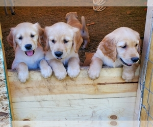 Golden Retriever Puppy for Sale in BLANCHARD, Idaho USA
