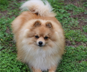 Pomeranian Puppy for sale in SPRINGFIELD, MO, USA